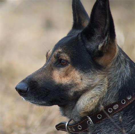 best collar best collar for german shepherd types of collars which to choose