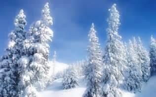 snowy fir trees wallpaper 26623