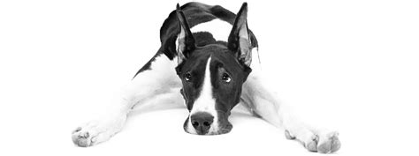 how much to feed a great dane puppy illnesses common to great danes and many large breeds