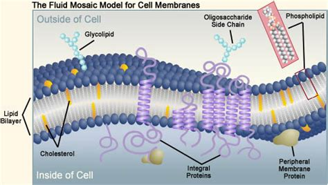 biology  topic  transport   membranes