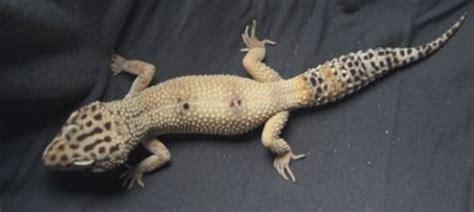 leopard gecko heat l les phases a g reptilina