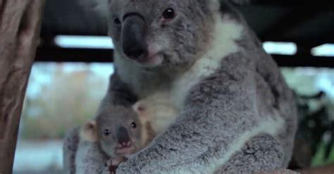 koala hängematte la reacci 243 n de este beb 233 koala al ver a su mam 225 por