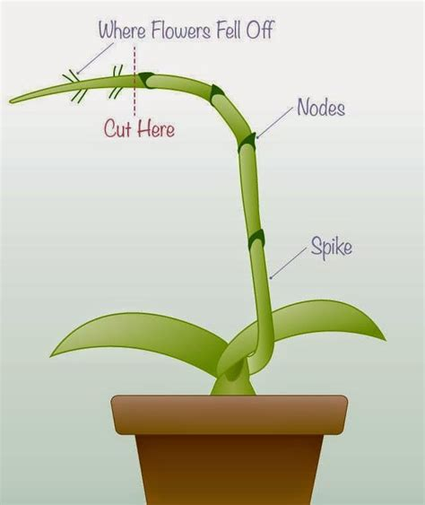 orchid rest period help full tips on when where and how to trim the spike of an orchid