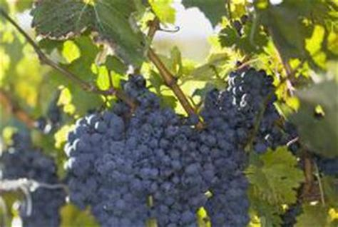 when to cut back a grapevine how to prune grape vines home guides sf gate