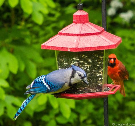 bird feeders for cardinals and bluejays