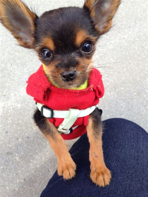 yorkie and chihuahua puppies chihuahua yorkie mix n animals animal animal and