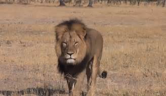 Cecil the lion killed in zimbabwe on july 6 was one of africa s