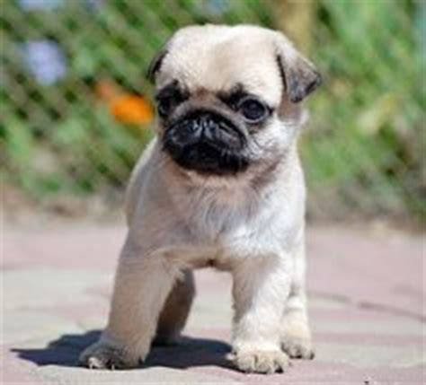 why does my pug everything 1000 images about pugs on pug baby pugs and pug puppies