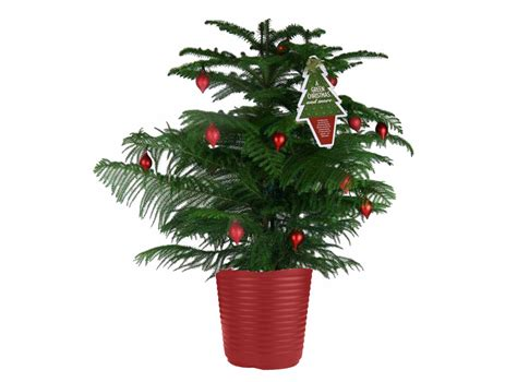norfolk pine christmas tree quotes