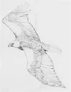 golden vs bald eagle flying golden eagle flying drawings