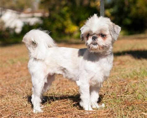 maltese shih tzu photos mal shi maltese x shih tzu mix temperament puppies pictures