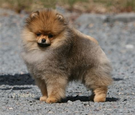 chriscendo pomeranians biss am ch chriscendo common sense breeds picture
