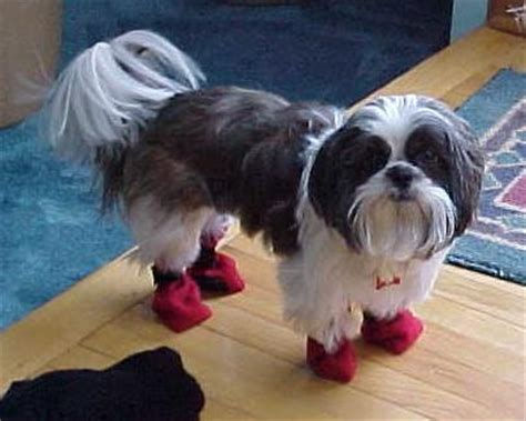 shih tzu boots 41 best images about my puppies on vests gilbert o sullivan and boats