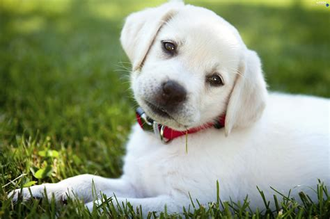 white puppy grass collar white puppy dogs wallpapers 2716x1810
