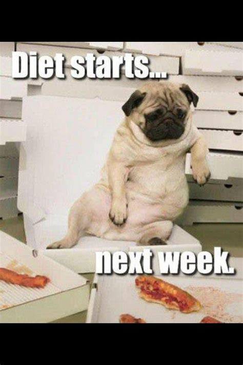 overweight pugs pug pug
