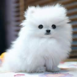 fluffy puppys fluffy puppy dogs picture