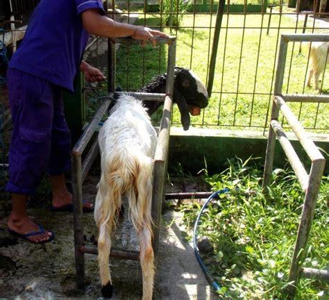 Mesin Perah Domba Kambing arsip pasar domba dan kambing indonesia contoh suasana dan fasilitas di area kandang