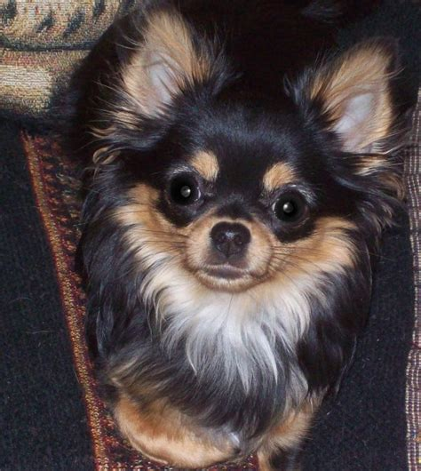 hair chihuahua hair growth what to expect 25 best ideas about long hair chihuahua on pinterest