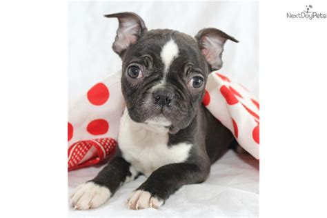 boston terrier puppies grand rapids mi boston terrier puppy for sale near grand rapids michigan 1ac58db3 d641