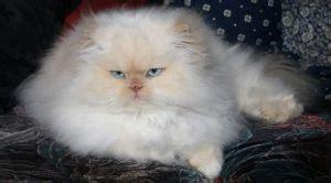 Obat Untuk Menghilangkan Kutu Beras 6 jenis penyakit yang sering menyerang kucing aneka info
