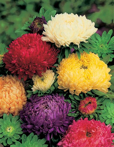 Bunga Poppy Mix Colour jual aneka bibit bunga hias jual bibit bunga murah