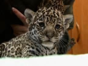 Jaguars Cubs Three Baby Jaguar Cubs