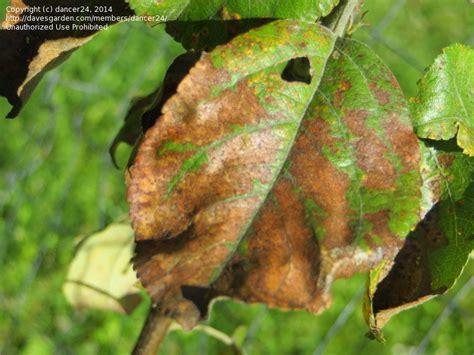 garden pests  diseases honeycrisp apple tree leaf
