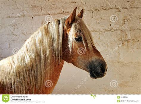 das stall haflinger pferd das im stall stillsteht stockfoto bild