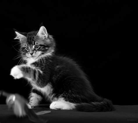 bianco  nero wallpaper foto gratis gatti