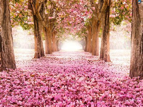 cherry blossom desktop wallpapers wallpaper cave cherry blossom desktop wallpapers wallpaper cave cherry