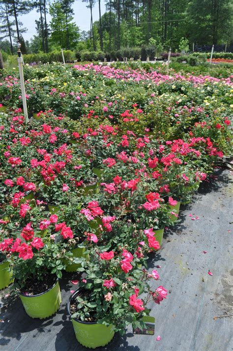 knockout colors knockout roses colors and pink and