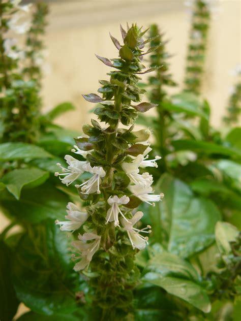 file basil flower2 jpg wikimedia commons