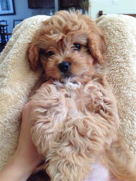 cavapoo puppy 159 best images about i want a on puppys cavapoo puppies and spaniels