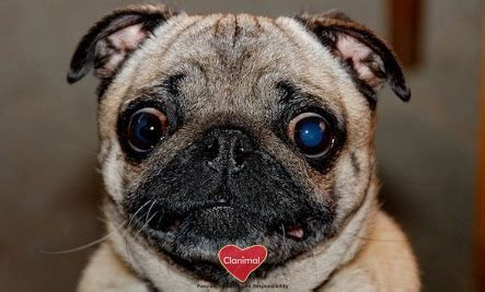 things about pugs 16 true facts about pugs clanimal