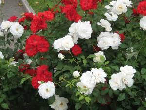 Haidemorala haide rose flowers com page 2
