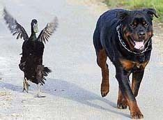 rottweiler duck 42 best images about rottweiler with other animals on each other