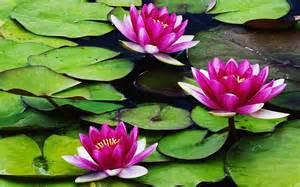 Water Lotus Flowers Wallpapers Lilies Flowers Wallpapers