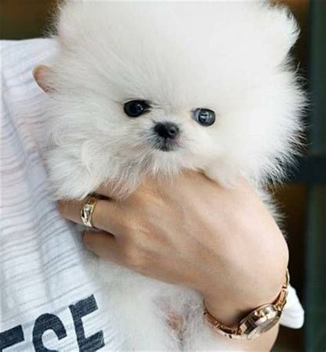 pomeranian puppies for sale in albuquerque teacup pomeranian puppies albuquerque new mexico pets for sale classified ads