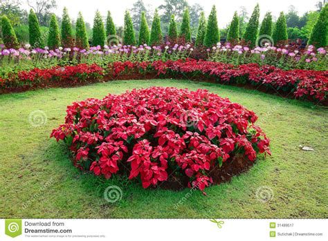 poinsettia in garden stock image image of decoration 31489517