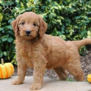 mini goldendoodles omaha ne ship from gfp shipping puppies greenfield puppies