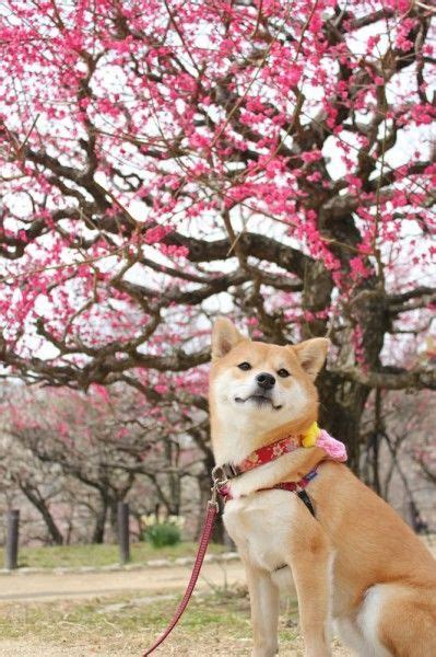 best 25 shiba inu ideas on akita inu puppy shiba puppy and shiba inu puppies