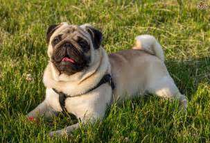 Pug Dog Breed Information, Buying Advice, Photos and Facts