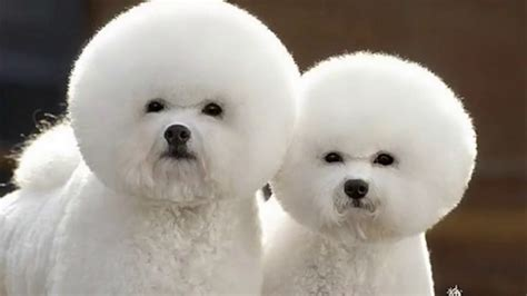 corte pelo caniche tipos de corte de pelo para caniches micro y poodle el