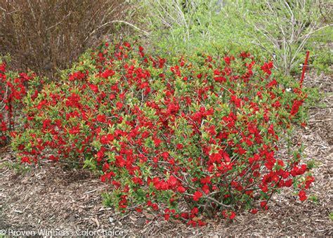 Double take flowering quince chaenomeles speciosa farmhouse landscape grand rapids by