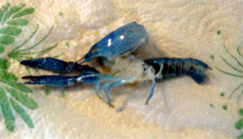 have a crustacean crayfish molt you can set it and keep
