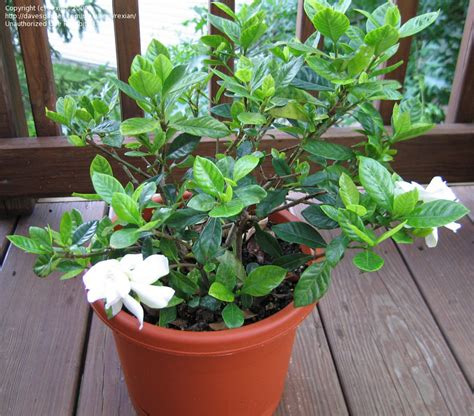 Gardenia Veitchii Pruning Care Of Gardenia Veitchii Gardenia Veitchii Transplanting