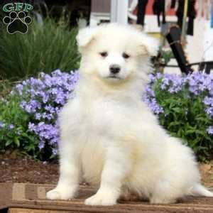 samoyed puppies for sale nj samoyed puppies for sale nj driverlayer search engine