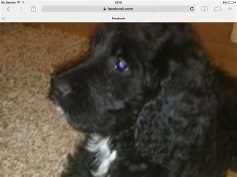 golden retriever for sale hshire golden doodle black boy for sale warrington cheshire pets4homes