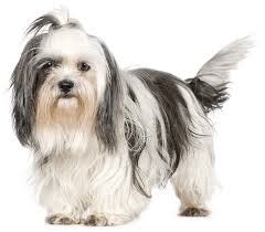 do shih tzu dogs shed hair breeds that don t shed choose your preferred breed pets world