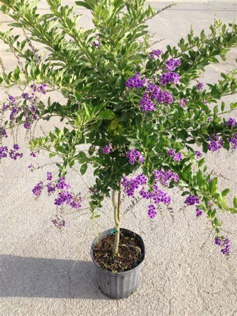 duranta plant care metropolitan wholesale metropolitan